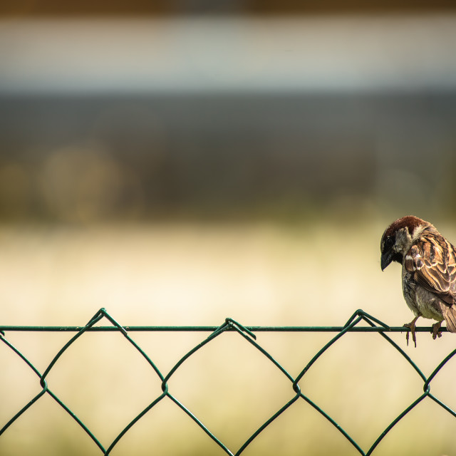 """Sparrow perched on wire-net"" stock image"