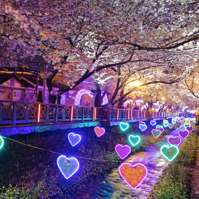 """""""cherry blossoms at night, busan city in south korea"""" stock image"""