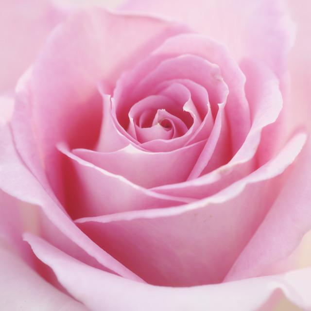 """Four seasons rose - Spring"" stock image"