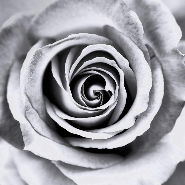 """Four seasons rose - Winter"" stock image"