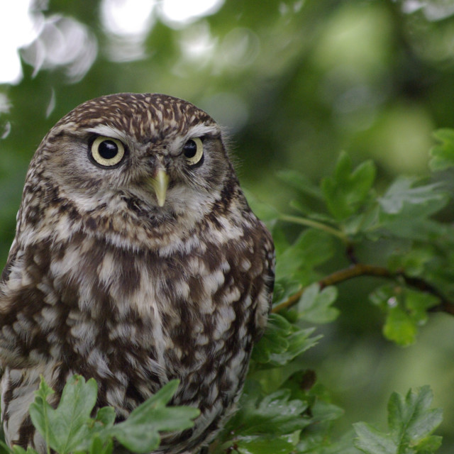 """Little Owl in an Oak Tree"" stock image"