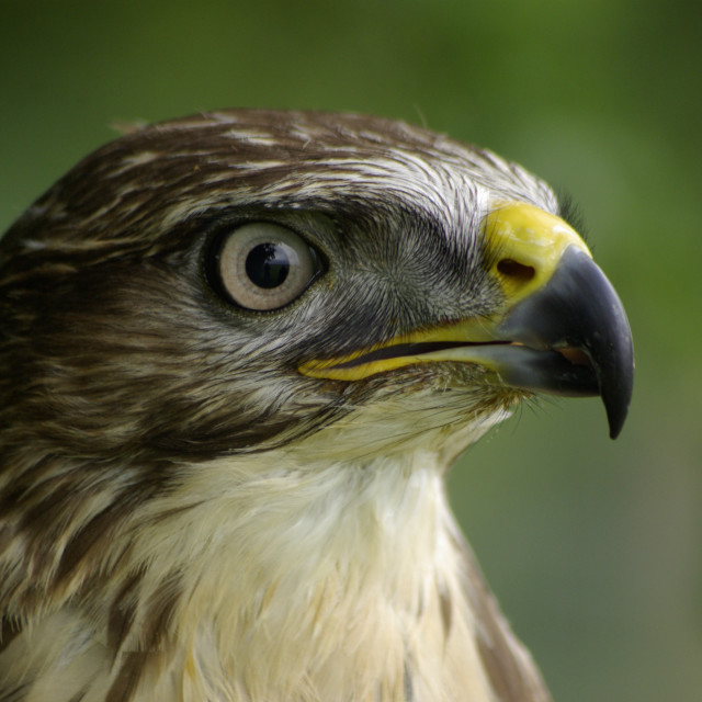 """Common Buzzard Portrait"" stock image"