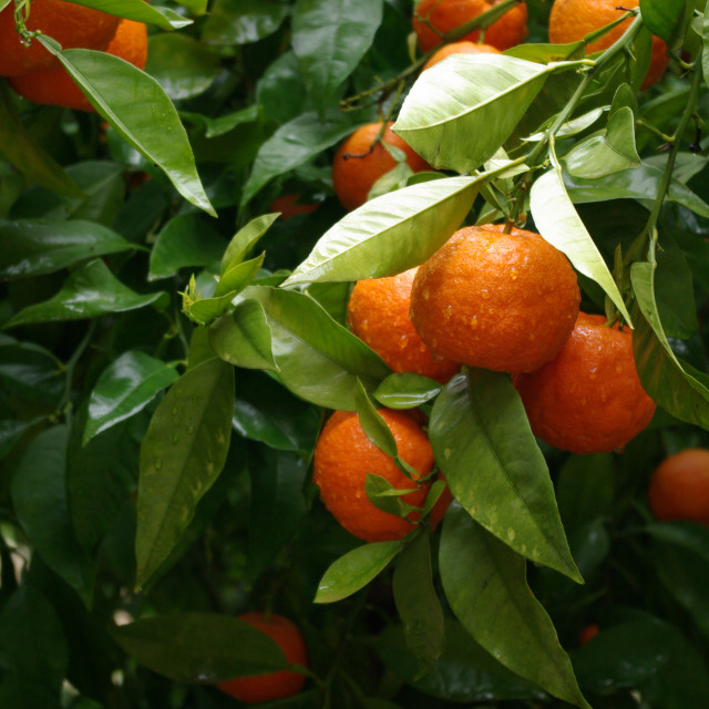 """Seville Oranges"" stock image"