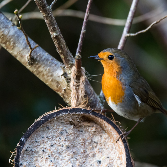 """Robin on a Coconut"" stock image"
