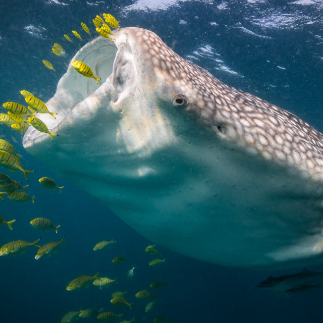 """Feeding whale shark"" stock image"