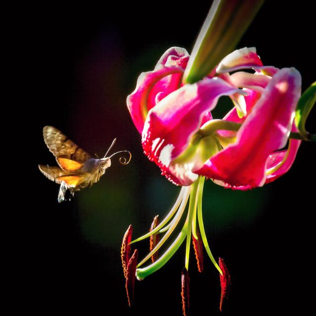 """Hawk-moth"" stock image"