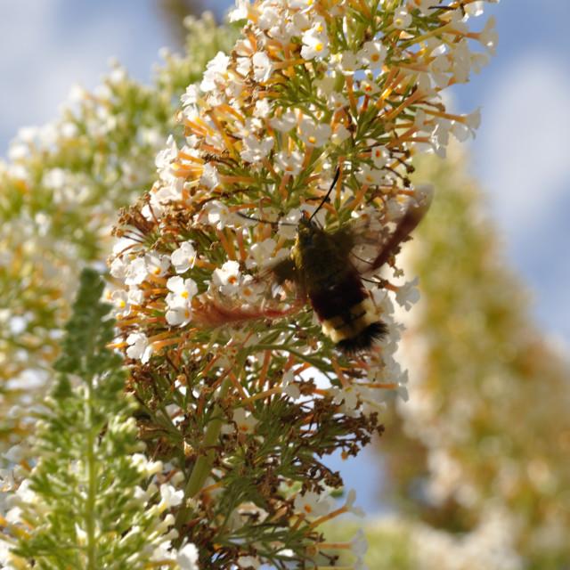 """hummingbird hawk-moth on a flower"" stock image"