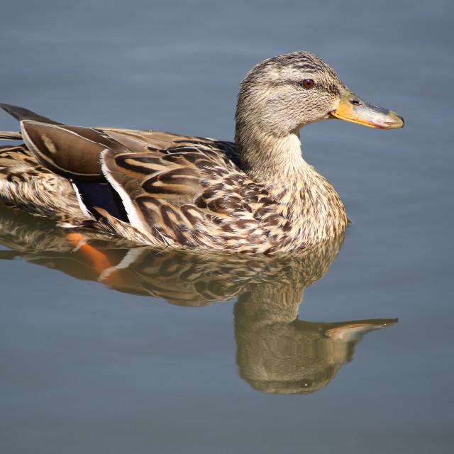 """""""Mallard Reflection"""" stock image"""