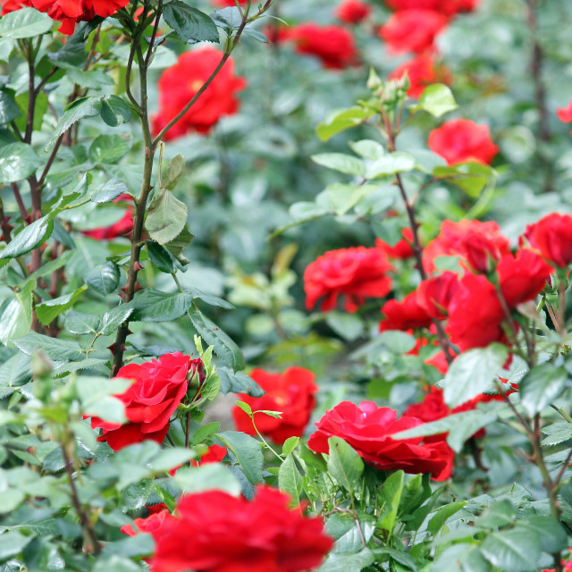 """red roses flower spring season"" stock image"