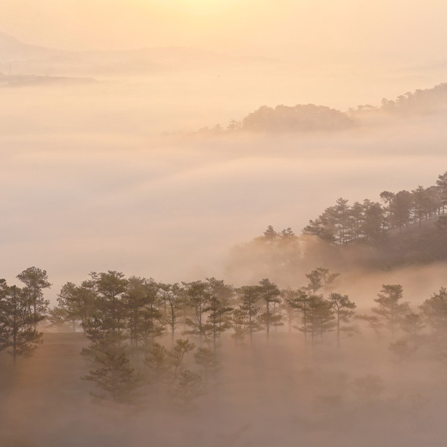 """""""Pine forrest in early fog"""" stock image"""