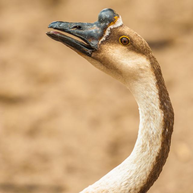 """Farm Goose"" stock image"