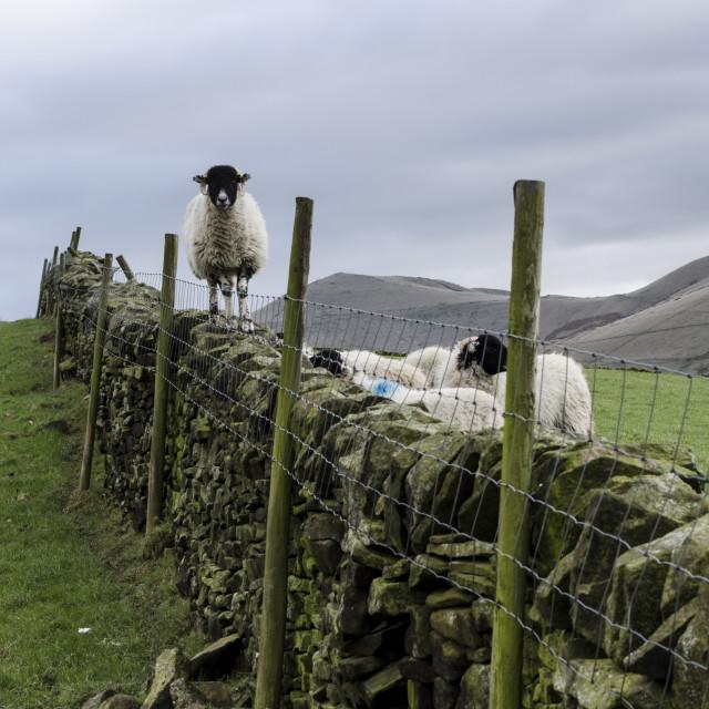 """Peaks Sheep"" stock image"