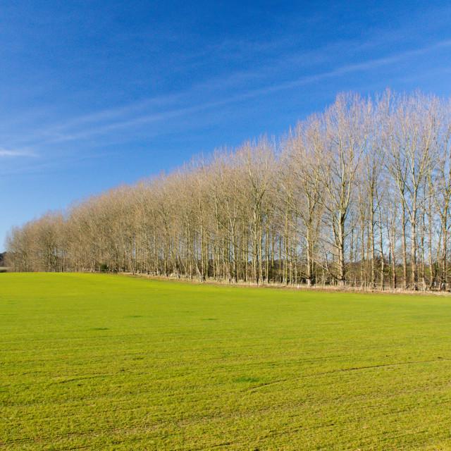 """Tree plantation, Snape, Suffolk"" stock image"