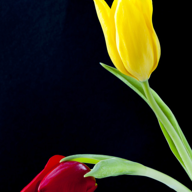 """""""Two colourful Tulip flower heads"""" stock image"""