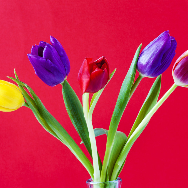 """Five colourful Tulips"" stock image"