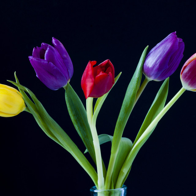 """""""Five colourful Tulips"""" stock image"""
