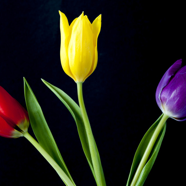 """Three colourful Tulips on Black"" stock image"