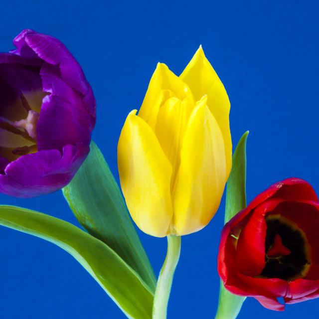 """Three colourful Tulips on blue background"" stock image"