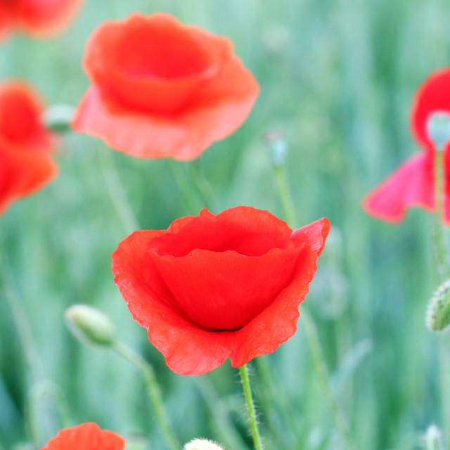 """poppies flowers field spring season"" stock image"