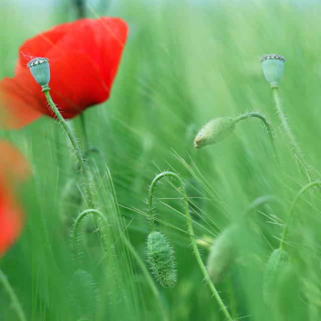 """poppies flower green field spring season"" stock image"