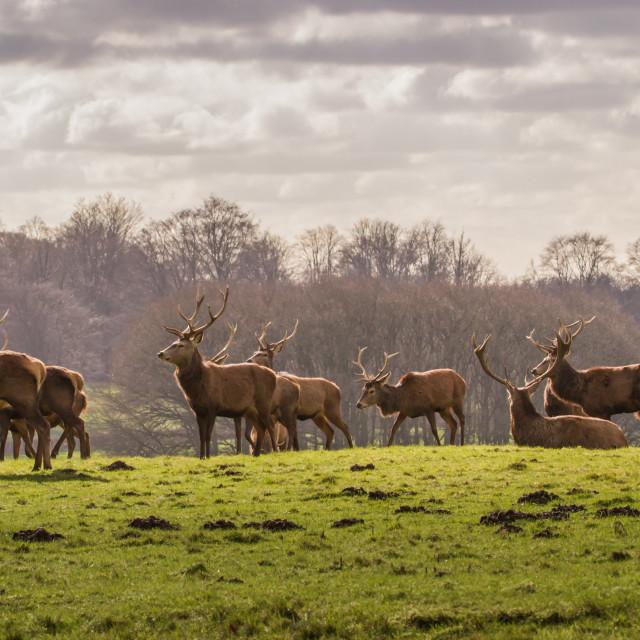 """Red Deer (Cervus elaphus)"" stock image"