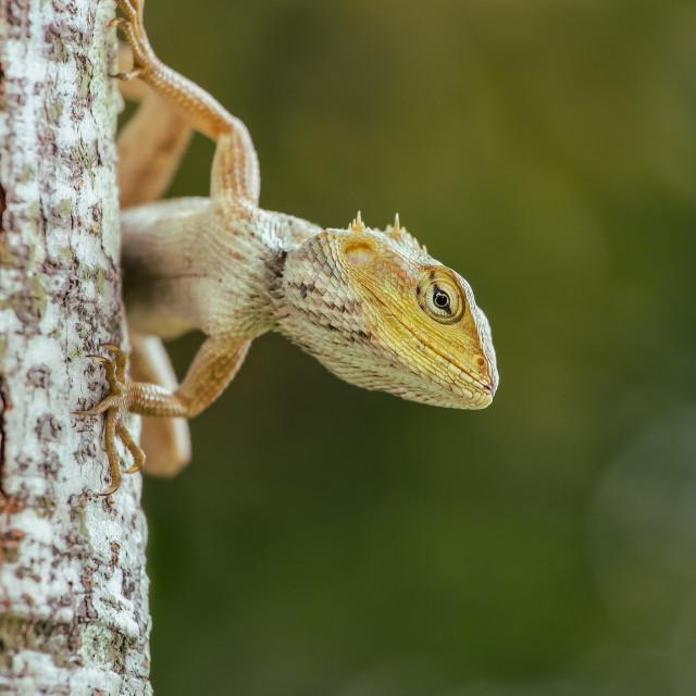 """Lizard looks"" stock image"