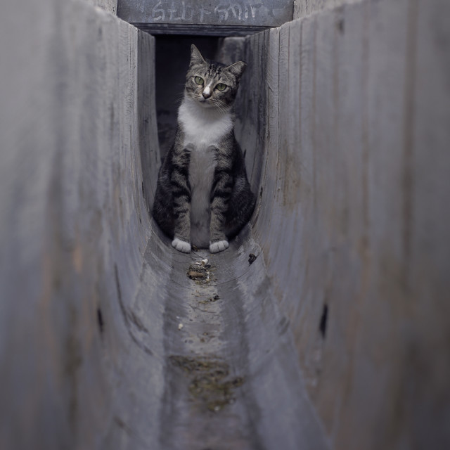 """Puzzled Cat in drain"" stock image"