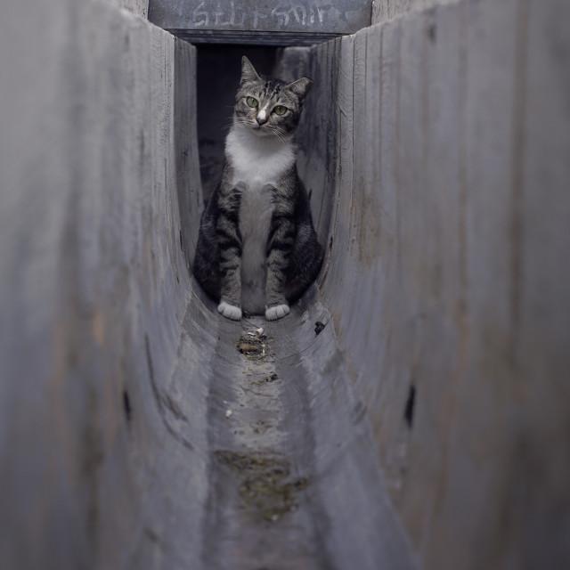 """Puzzled Cat in drain"" stock image"
