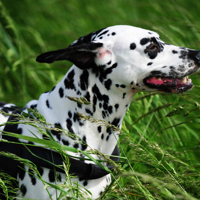 """Dalmatian dog in high green grass"" stock image"