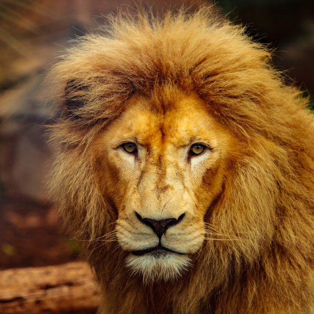 """""""Lord of the Jungle staring"""" stock image"""