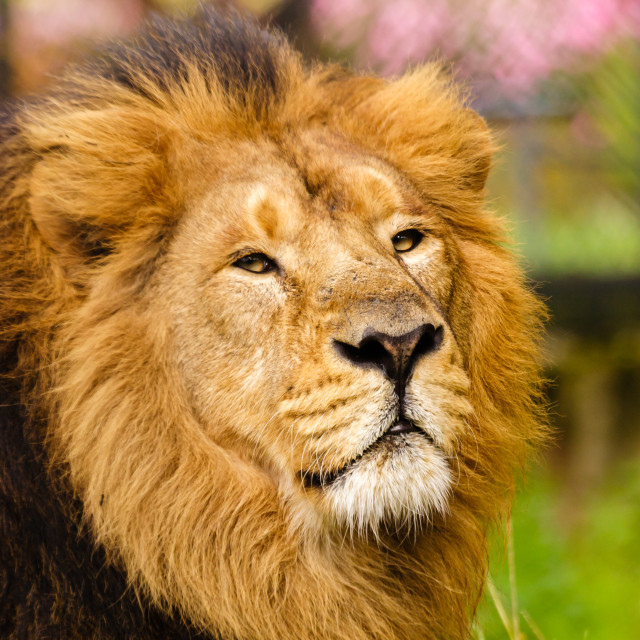 """""""The Lord of the Jungle"""" stock image"""