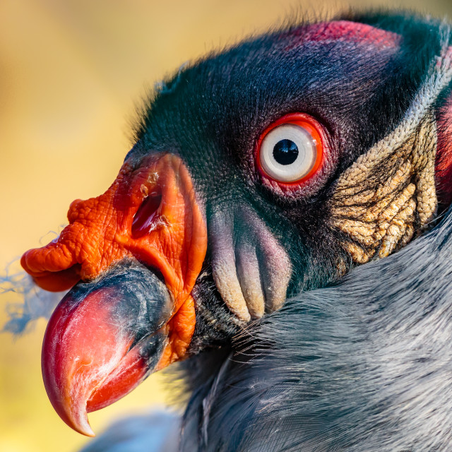 """""""Close up of the head of a King Vulture"""" stock image"""