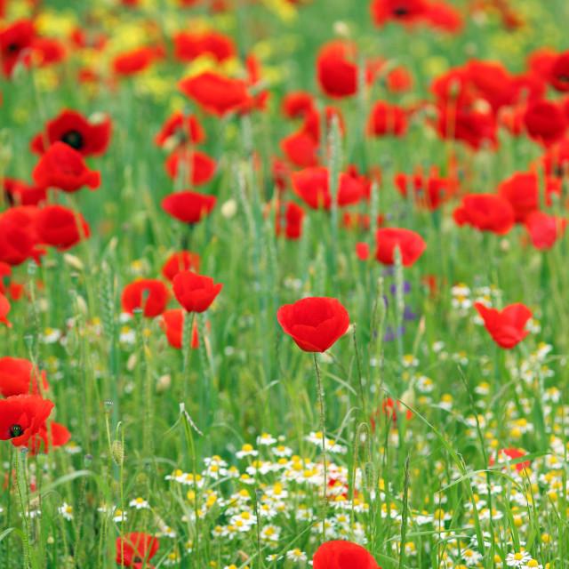 """poppies flower meadow spring season"" stock image"