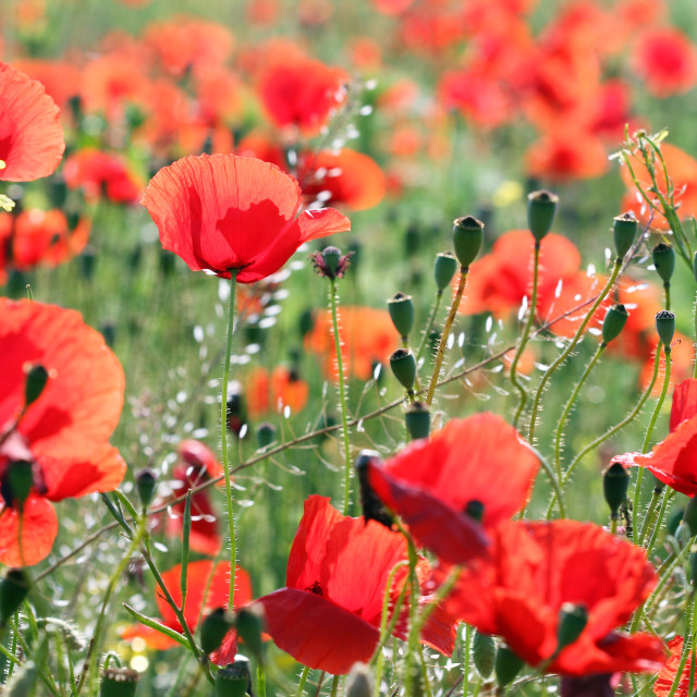 """""""poppies flower field nature background spring"""" stock image"""