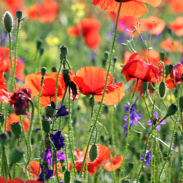 """""""poppies flower spring meadow nature"""" stock image"""