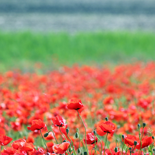 """""""red poppies flower countryside spring season"""" stock image"""