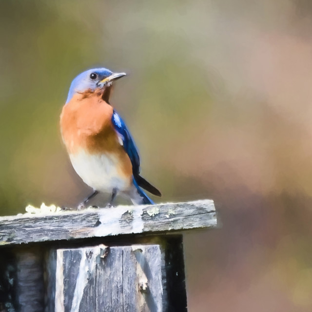 """Male Eastern Bluebird"" stock image"