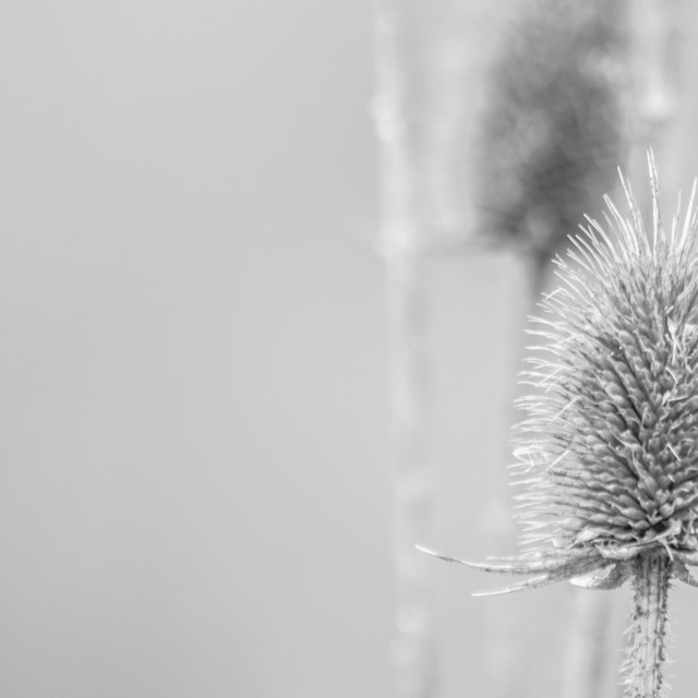 """Thistle and Weeds"" stock image"