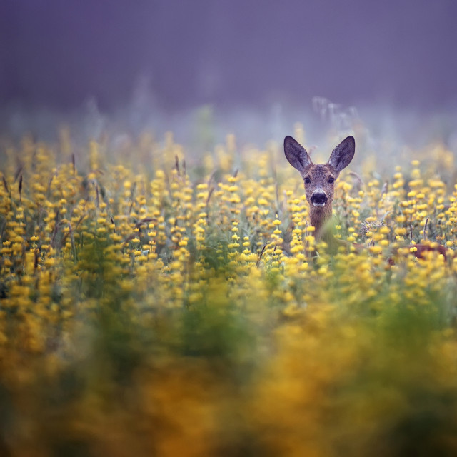 """Roe-deer in the morning mist"" stock image"