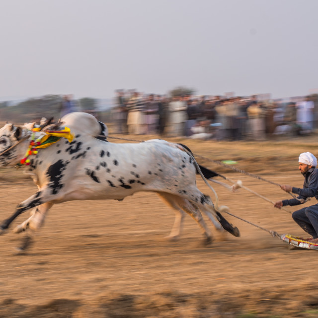 """Bull Cart Race Panning"" stock image"