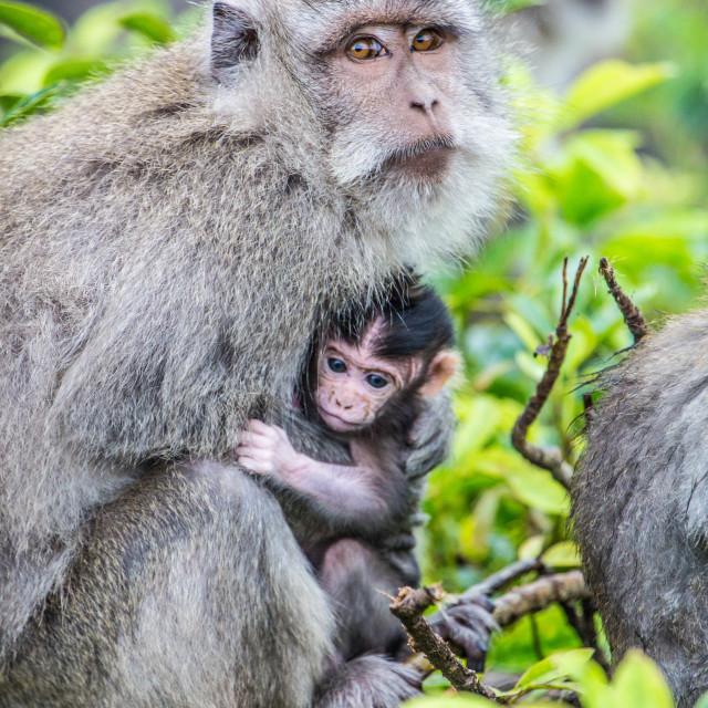 """Mother & Baby Monkey"" stock image"