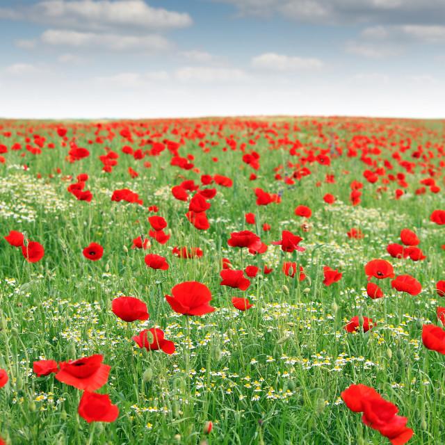 """poppies flower meadow landscape spring season"" stock image"