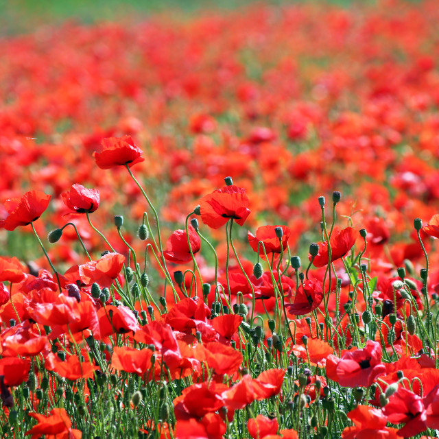 """""""red poppies flower meadow landscape"""" stock image"""