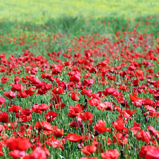 """poppies flower field rural landscape"" stock image"