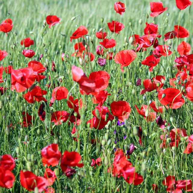 """Red poppies flower spring season"" stock image"