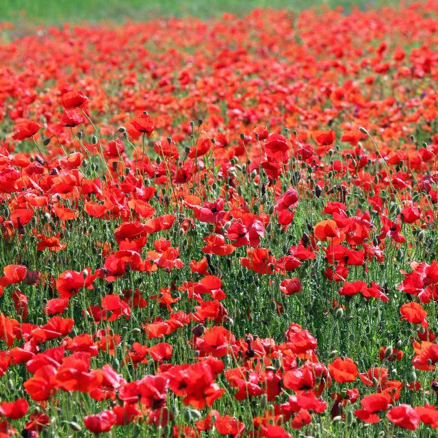 """red poppies flower meadow spring season"" stock image"
