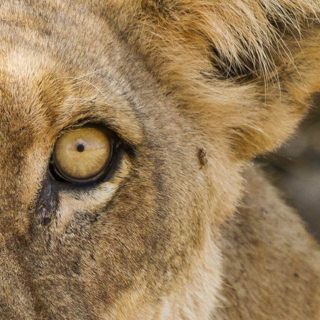 """Lion stare"" stock image"