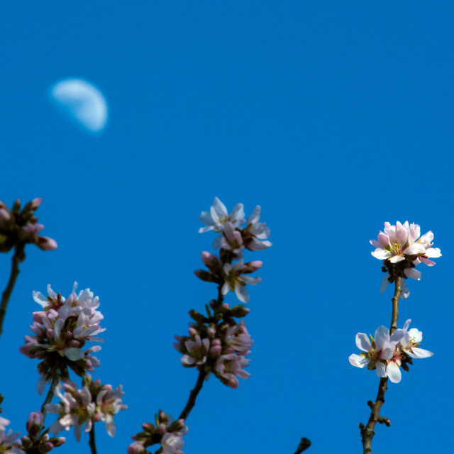 """Almond blossom and moon"" stock image"