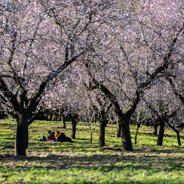 """Couple under almond trees"" stock image"
