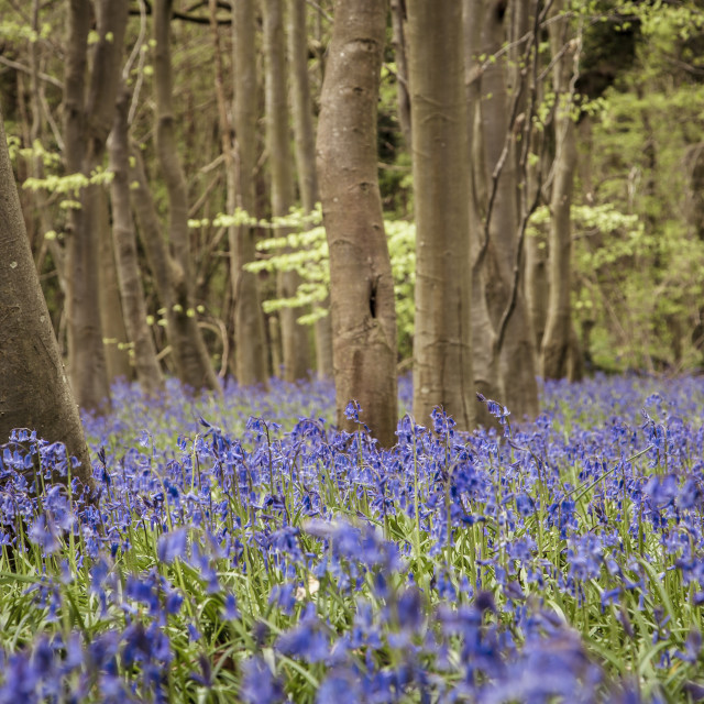 """A Sea of Bluebell flowers"" stock image"